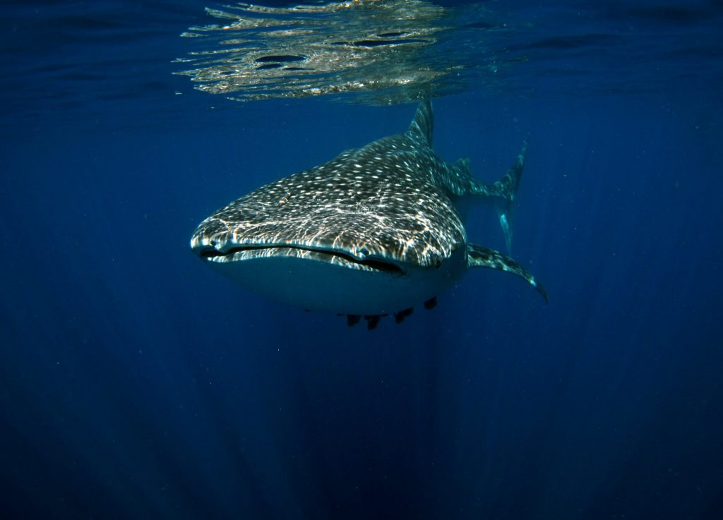 Whale Shark Season kicks off!